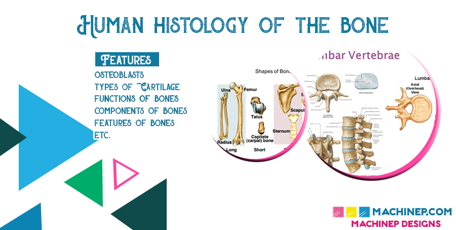 Human Histology of the Bone